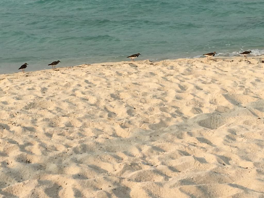ベリーズシティ ゴフ島 砂浜 小鳥の行進