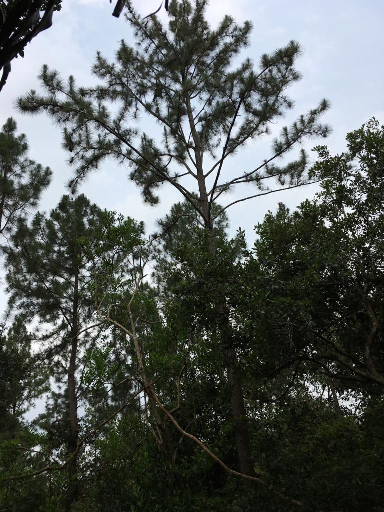 ベリーズ動物園 木の上に クモザル