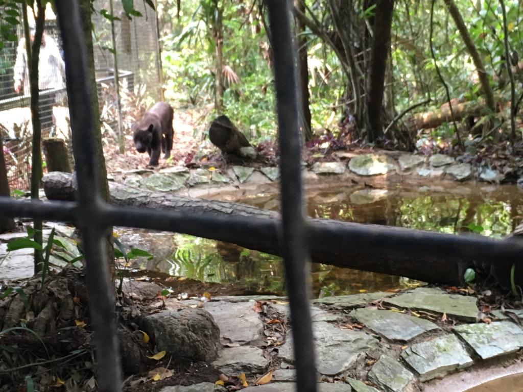 ベリーズ動物園 近づいてくるブラックジュアガー