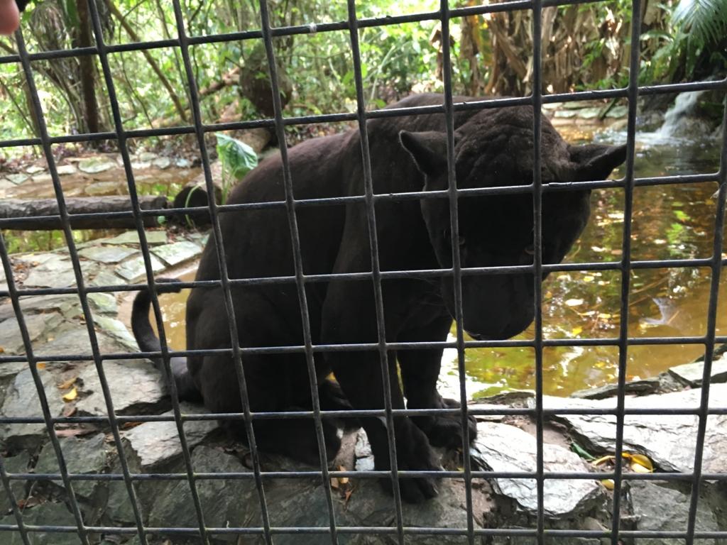 ベリーズ動物園 ブラックジュアガー