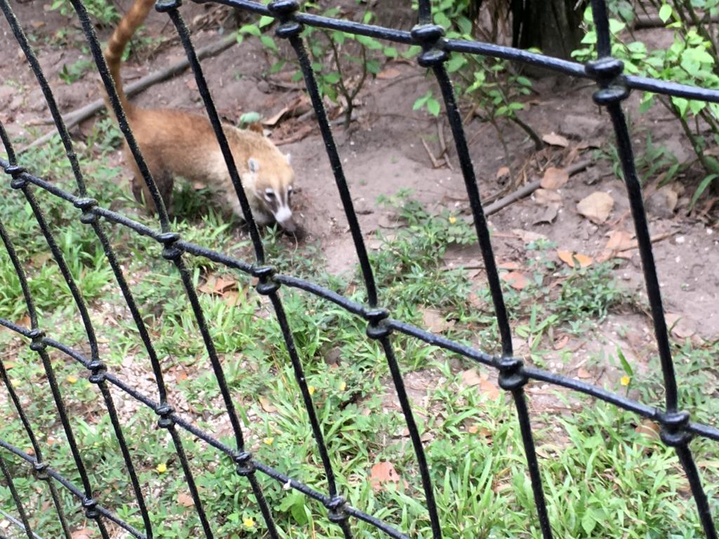 ベリーズ動物園 アナグマ