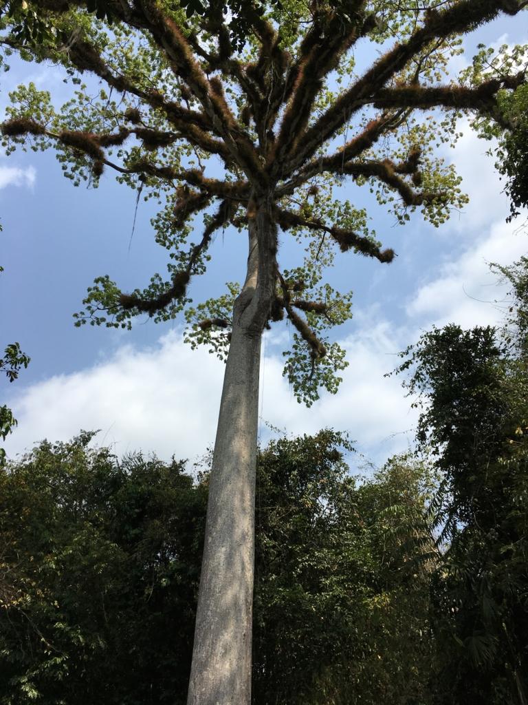 ティカル国立公園 セイバの巨木