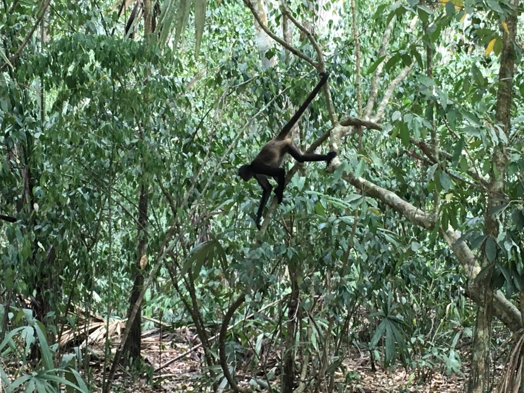 ティカル国立公園 クモザル