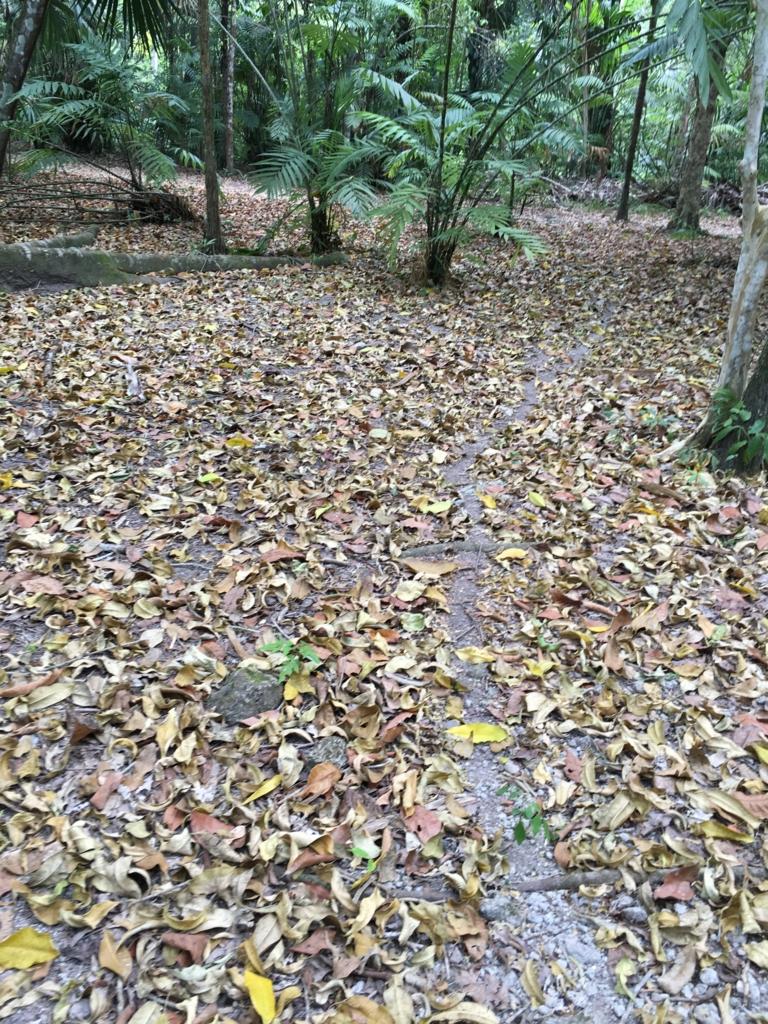 グアテマラ ティカル遺跡 葉切り蟻の行進後