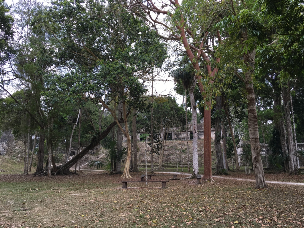 グアテマラ ティカル遺跡 「7つの神殿広場」 倒れた木