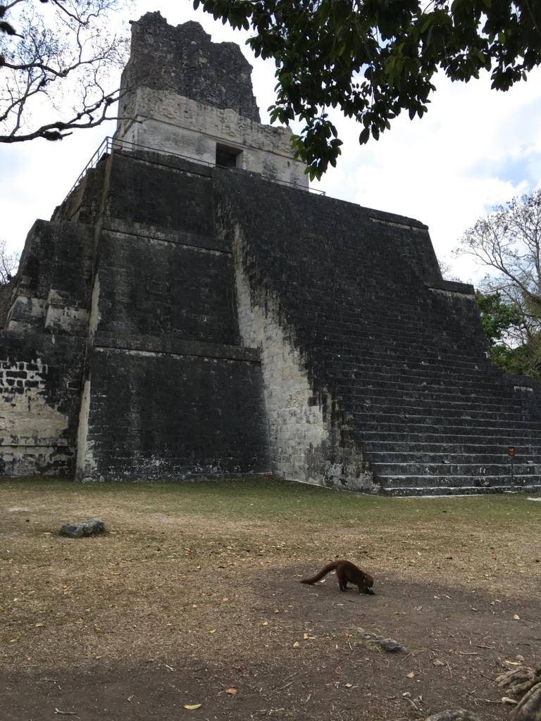 グアテマラ ティカル遺跡 2号神殿 側面から アナグマと