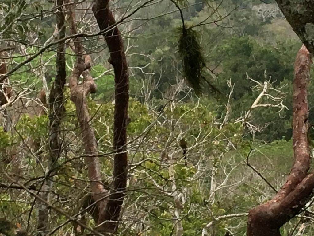 グアテマラ ティカル遺跡観光 有名な鳥