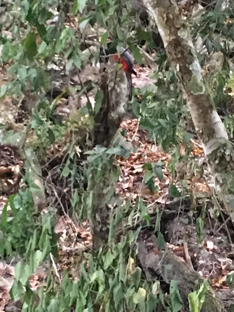 グアテマラ ティカル遺跡観光 有名な赤い鳥