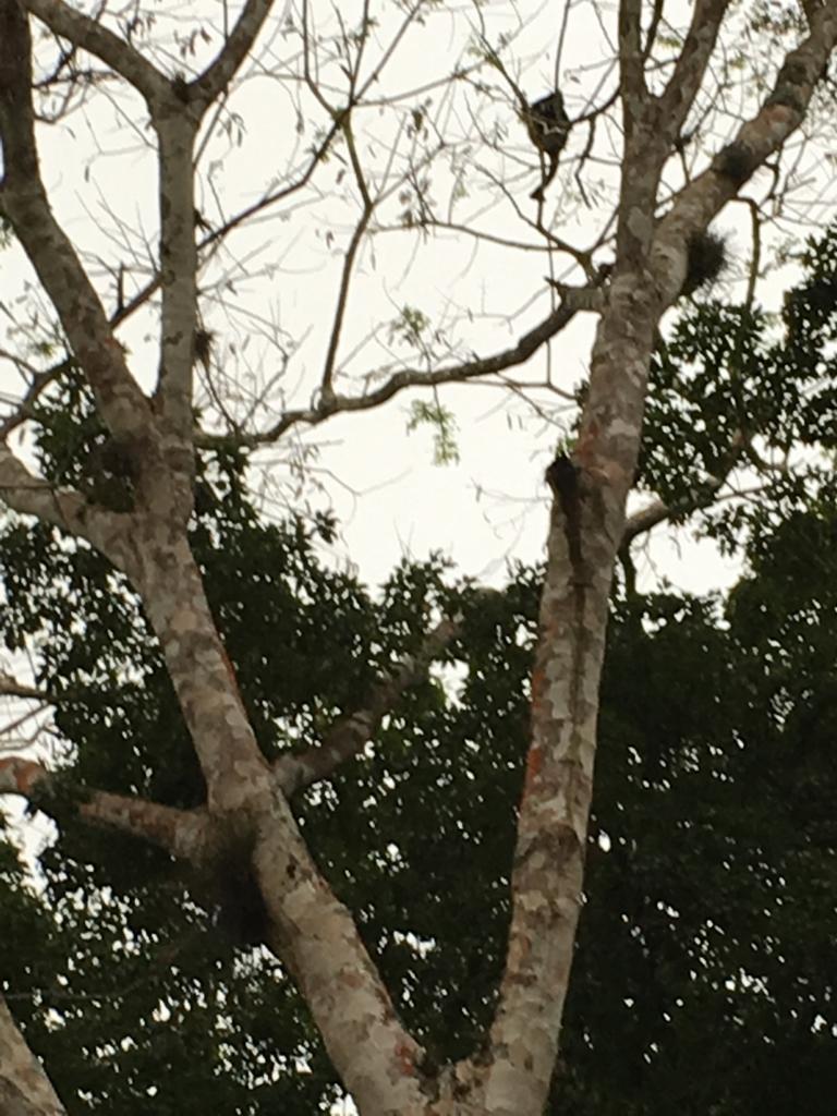 グアテマラ ティカル遺跡 クモザル