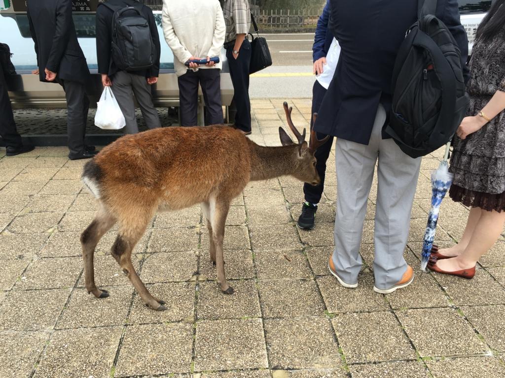 宮島 フェリー乗り場前 広場 狙いを定める鹿さん