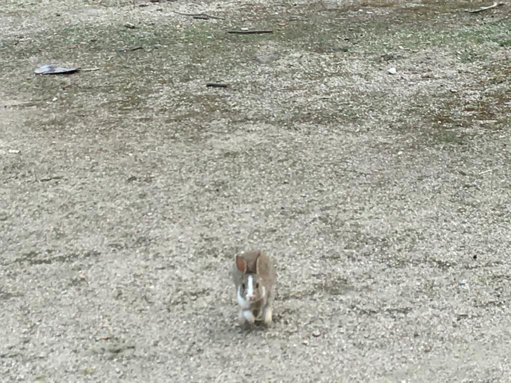 2回目のうさぎ島 休暇村 横の広場 小さい子の出迎え、走ってきます