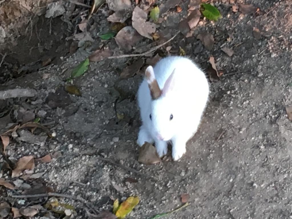 2回目のうさぎ島 休暇村 横の広場 真っ白な小さなウサギさん