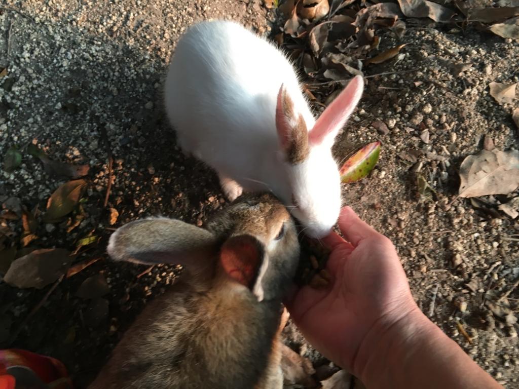 2回目のうさぎ島 休暇村 横の広場 大きなウサギさんが...