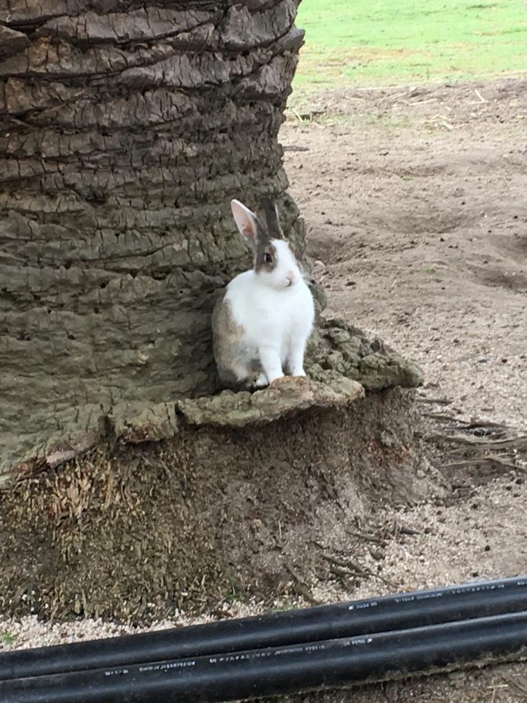 2回目のうさぎ島 大久野島 「休暇村 大久野島」朝のお散歩会 ポーズをとる?ウサギさん