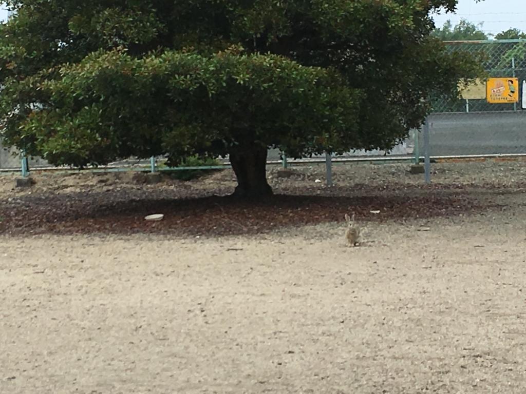 2回目のうさぎ島 大久野島 展望台付近 広場のウサギさん