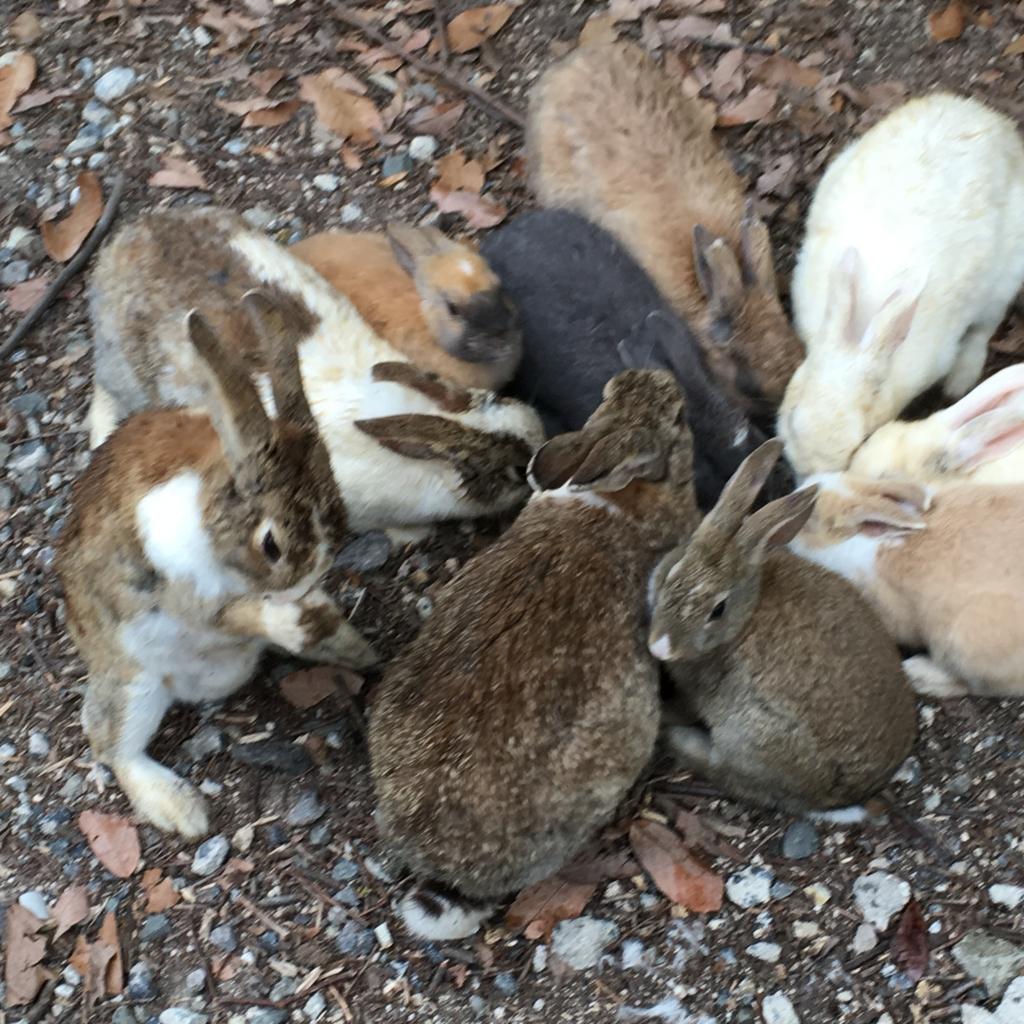 2回目のうさぎ島 大久野島 発電所跡付近のウサギさん達