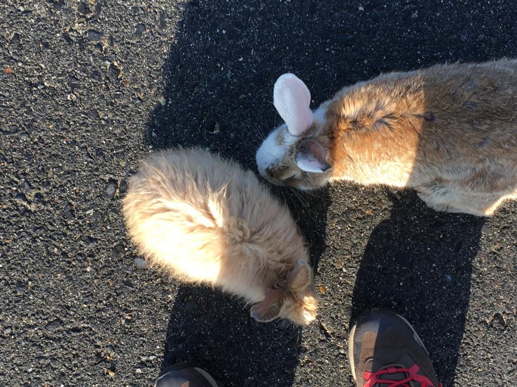 2回目のうさぎ島 大久野島早朝のモフモフウサギさん