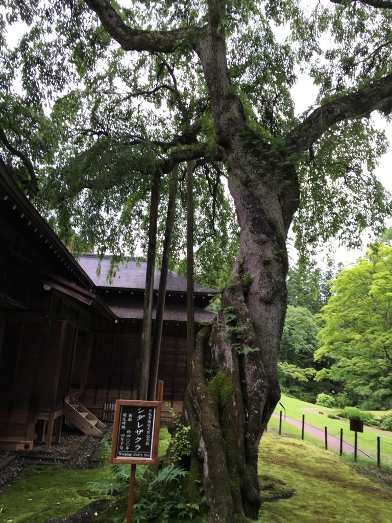 日光田母沢御用邸 樹齢400年のシダレザクラ