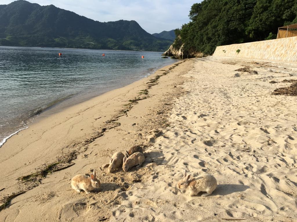 うさぎ島(大久野島)海水浴場のうさぎさん達