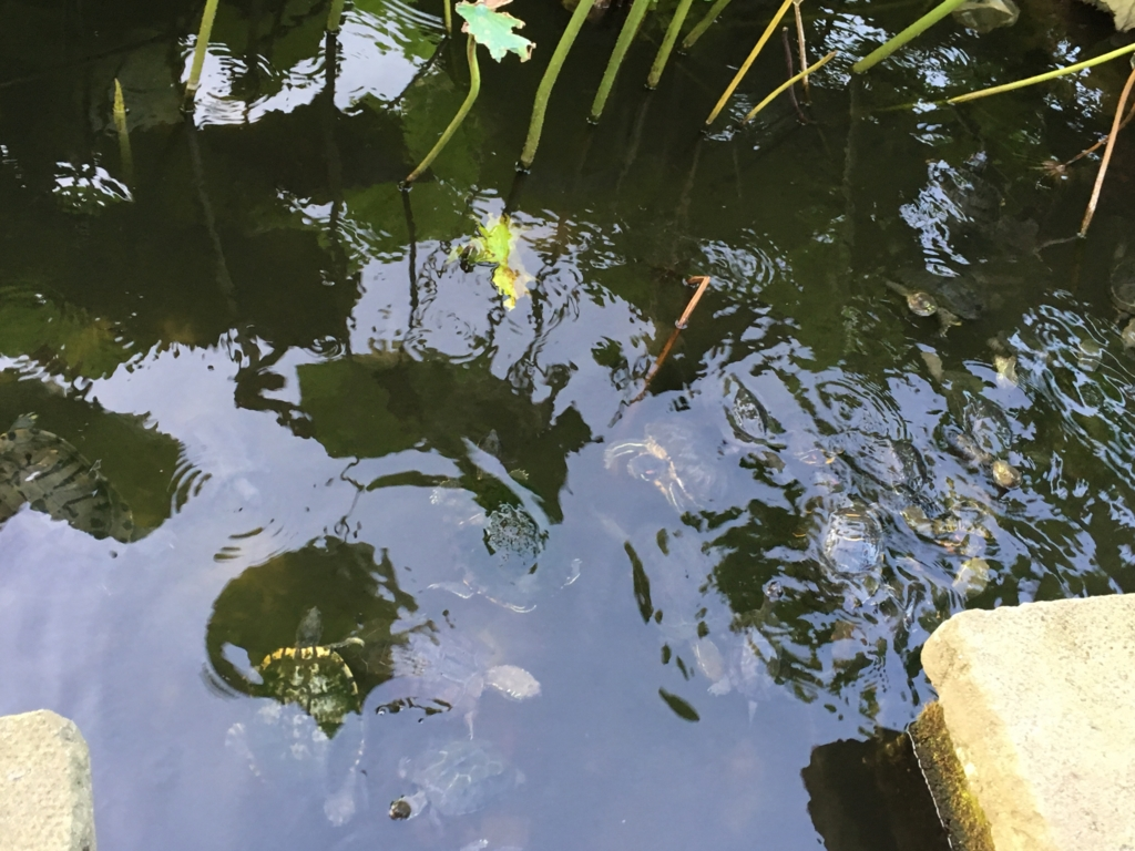 上野不忍池 たくさんの亀