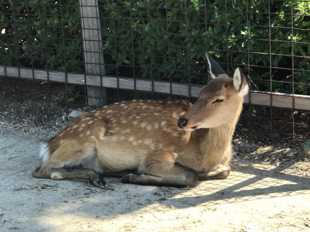 宮島 厳島神社へ 涼んでいる鹿さん