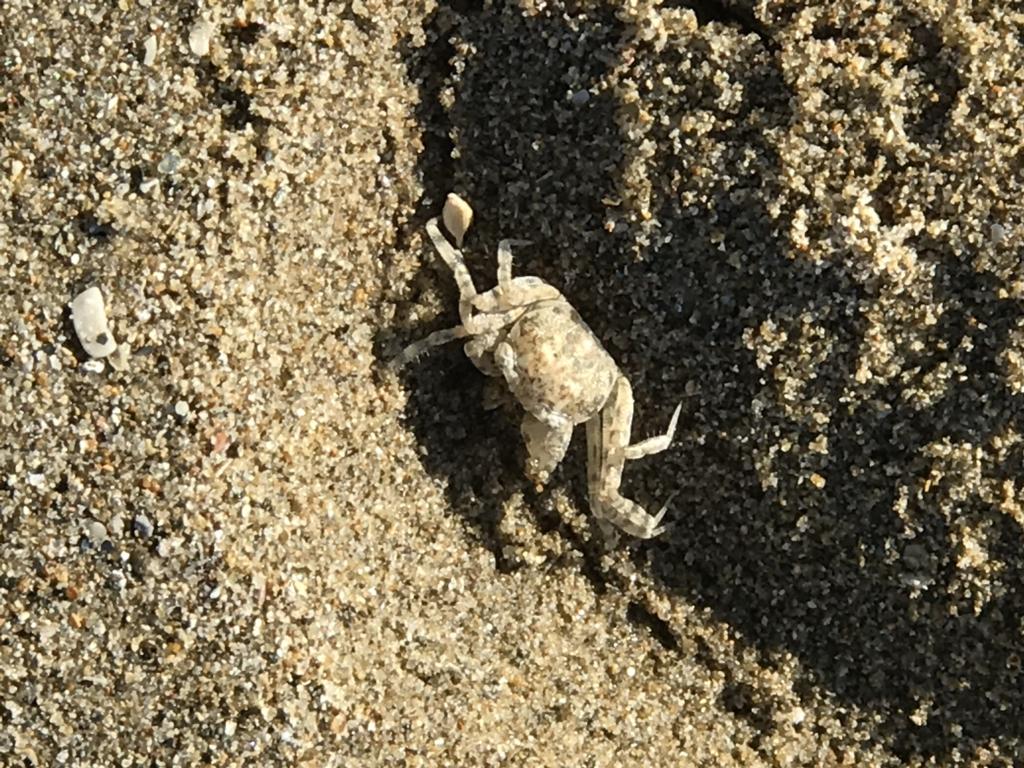 出雲「稲佐の浜」海岸 小さい蟹