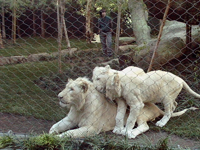 ラスベガス ミラージュホテル シークレットガーデン お母さんに甘えるホワイトライオン