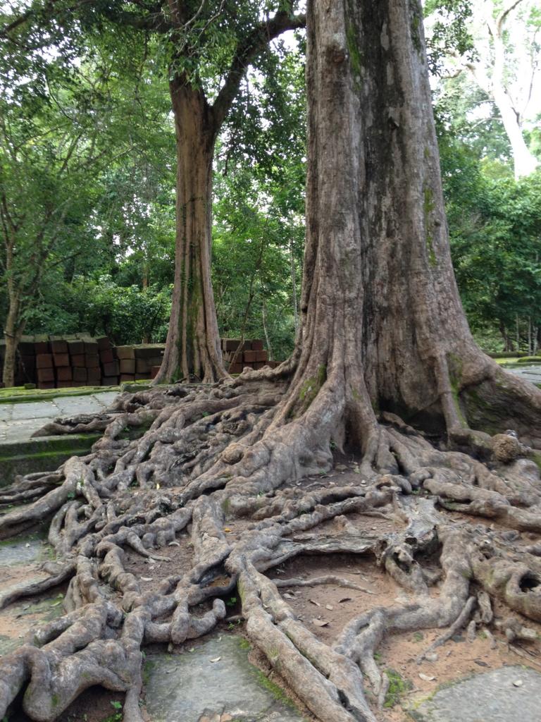 カンボジア シェムリアップ 「タ プローム」遺跡 ガシュマルの巨木
