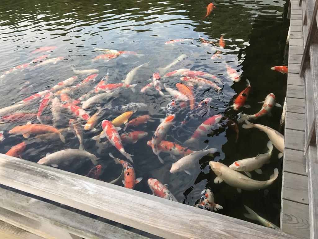 広島県 三景園 大池 鯉達