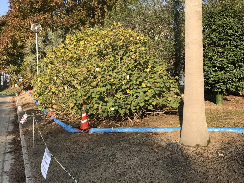 うさぎ島 11月 裾の葉が食べ尽くされた木