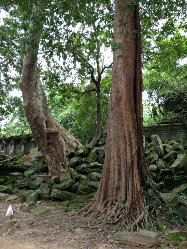 カンボジア「ベンメリア遺跡」南門付近 巨木