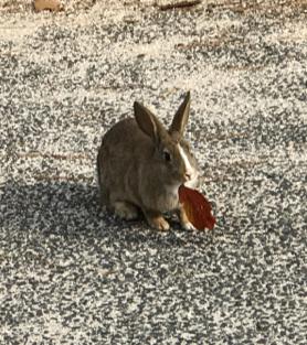 うさぎ島(大久野島)の冬 落ち葉をくわえた ウサギさん