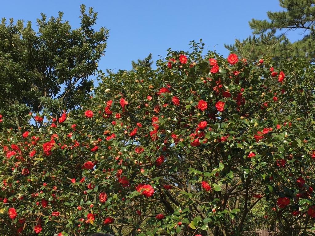 伊豆大島 椿園 この1本は 椿の花満開n