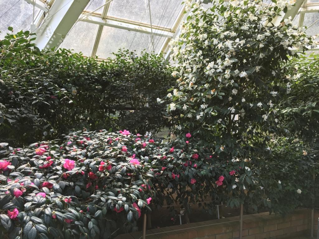 伊豆大島 椿園 温室内