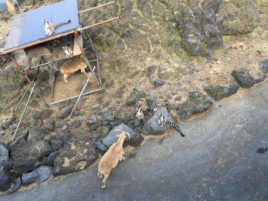 伊豆大島 動物園 サル島 ワオキツネザル