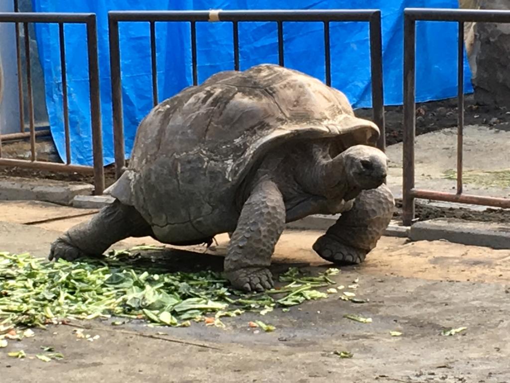 伊豆大島 動物園 ゾウガメエリア 元気なゾウガメ