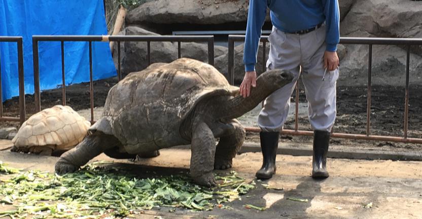 伊豆大島 動物園 ゾウガメエリア 飼育員さんとゾウガメ