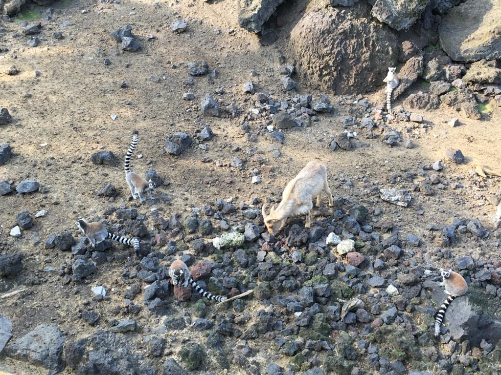 伊豆大島 動物園 サル島 バーバリーシープ
