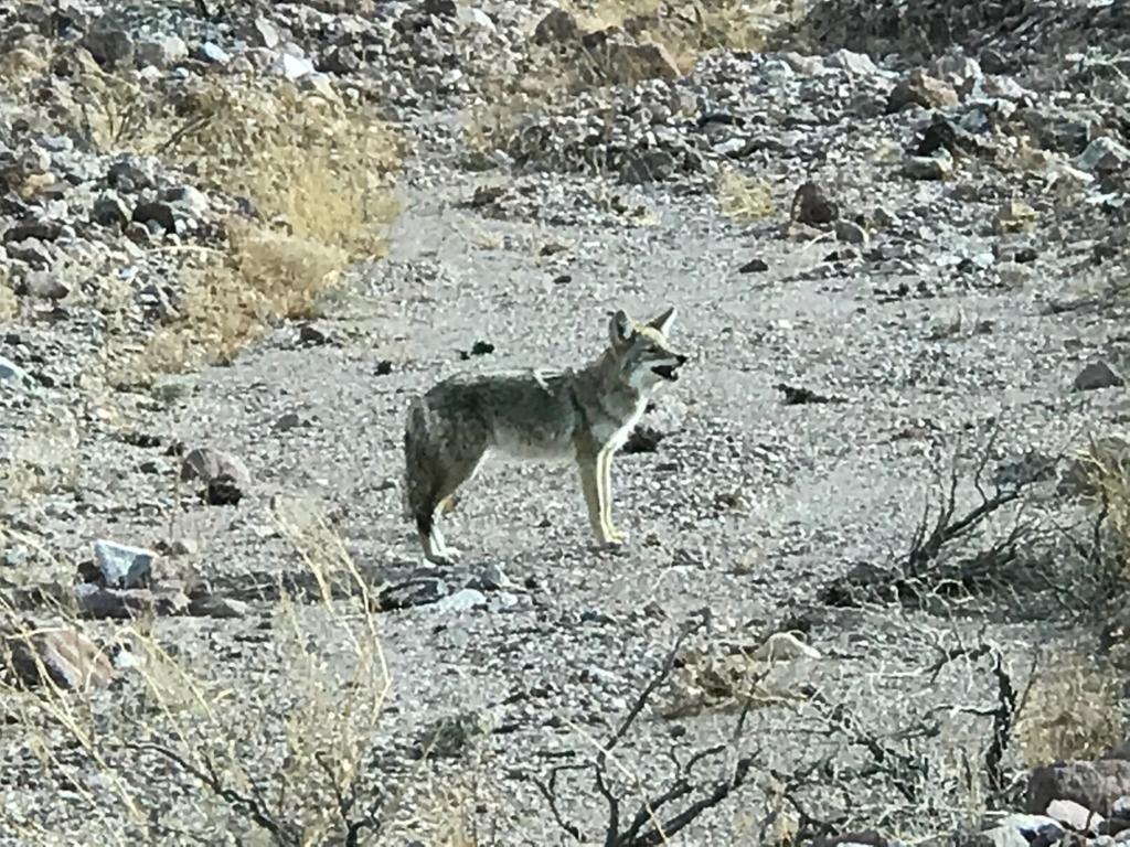デスバレー国立公園 野生のコヨーテ 観光客の餌を求めて