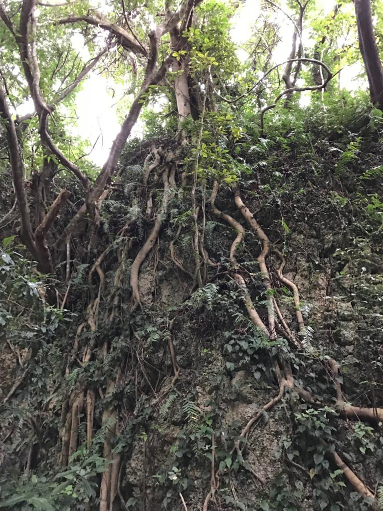 「斎場御嶽」ガジュマルの木