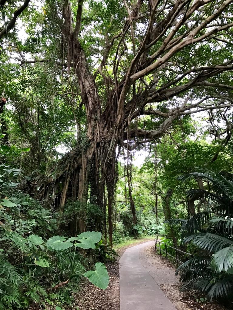 「ガンガラーの谷」ガジュマルの木