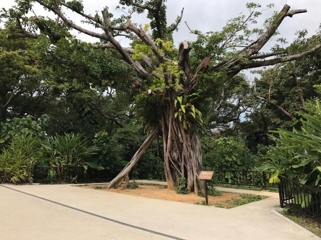 沖縄県 首里城公園 歴史を語るアカギの大木