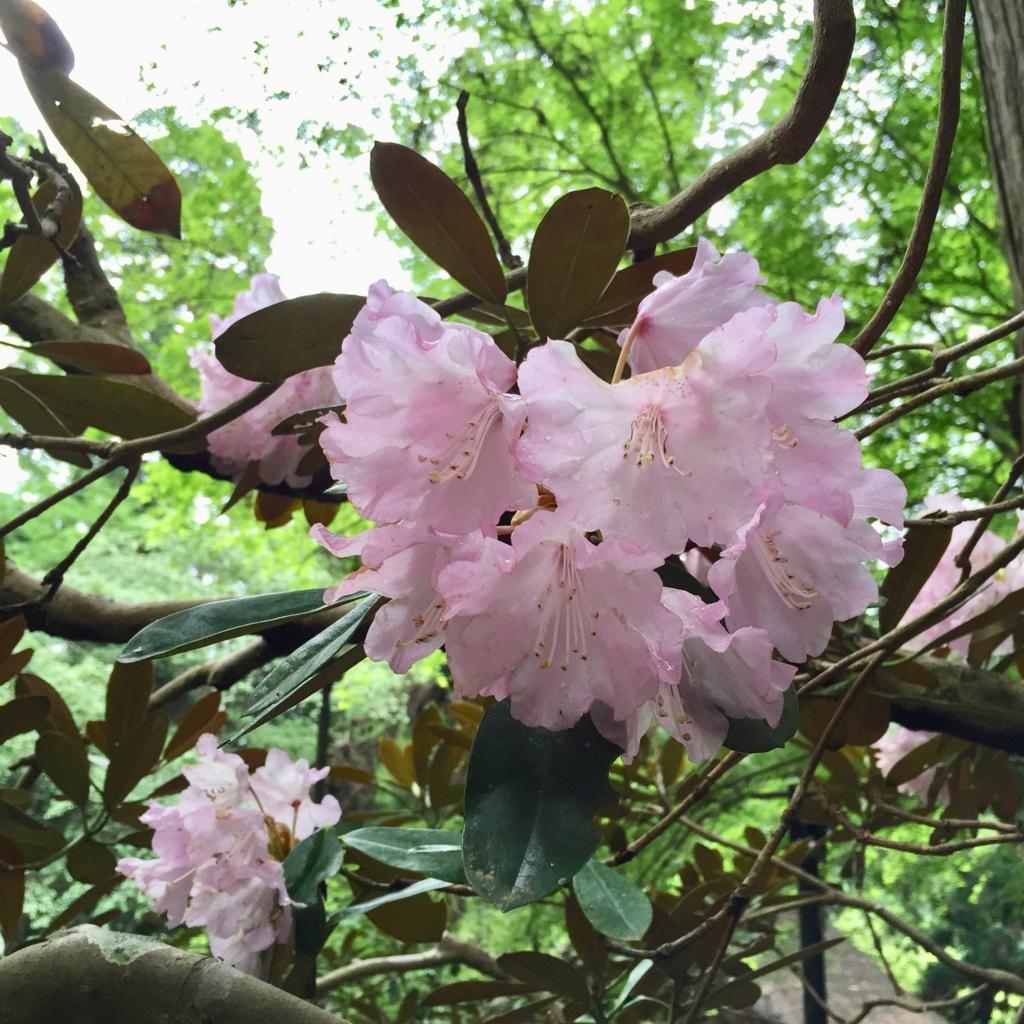 奈良県 室生寺 しゃくなげ の花