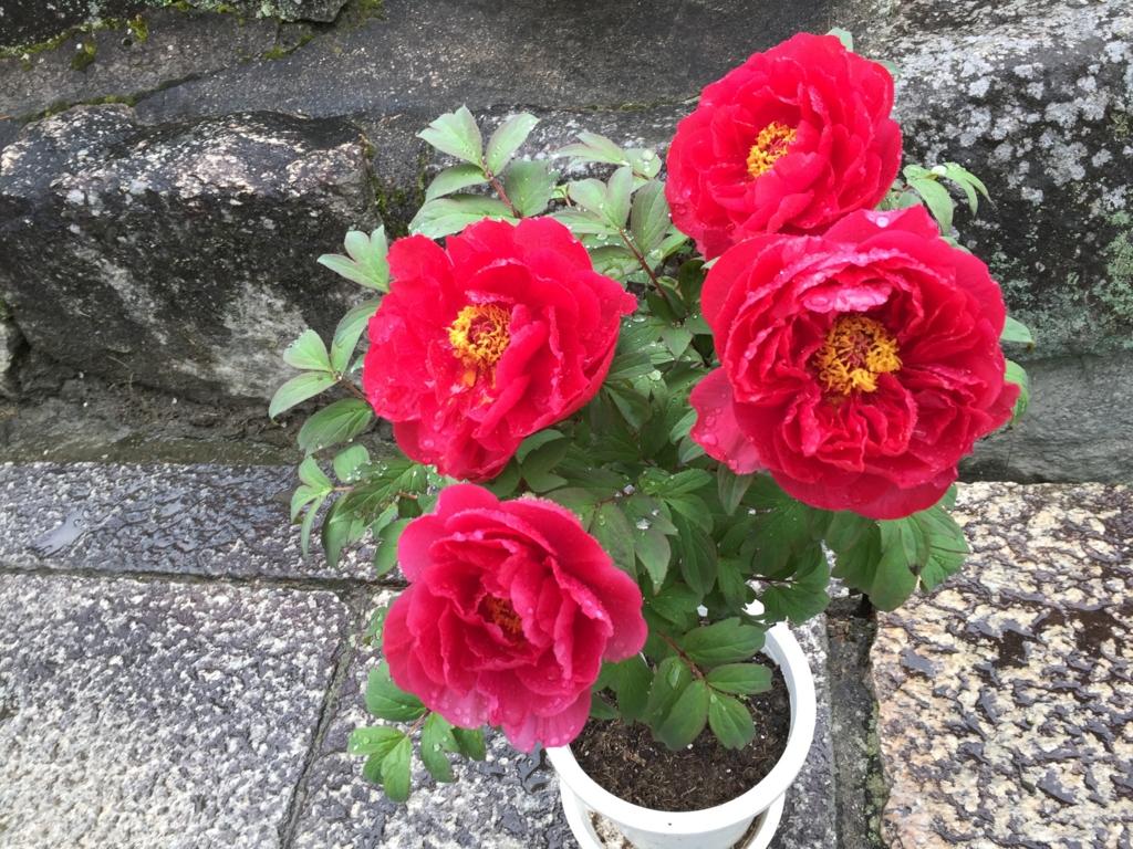 奈良県 長谷寺 ぼたんまつり 植木の 赤いぼたん