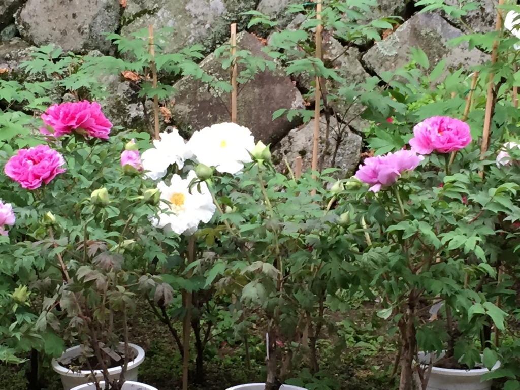 奈良県 長谷寺 ぼたんまつり 植木のぼたん