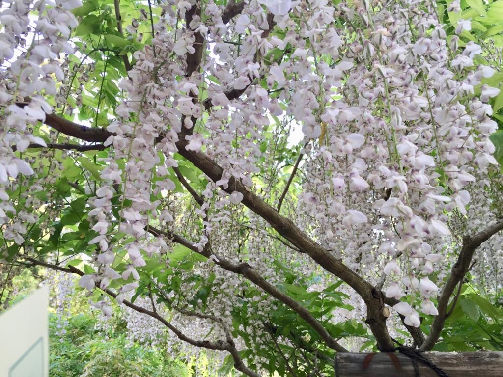 奈良県 春日大社 萬葉植物園 満開のフジ いろいろな種類