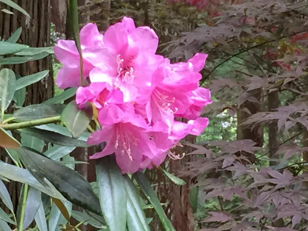 奈良県 室生寺 しゃくなげの花 背景にもみじの木