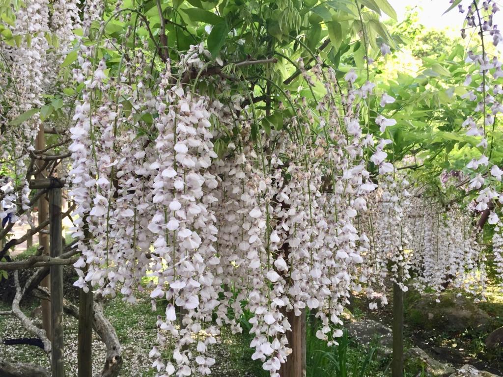 奈良県 春日大社 萬葉植物園 満開のフジ