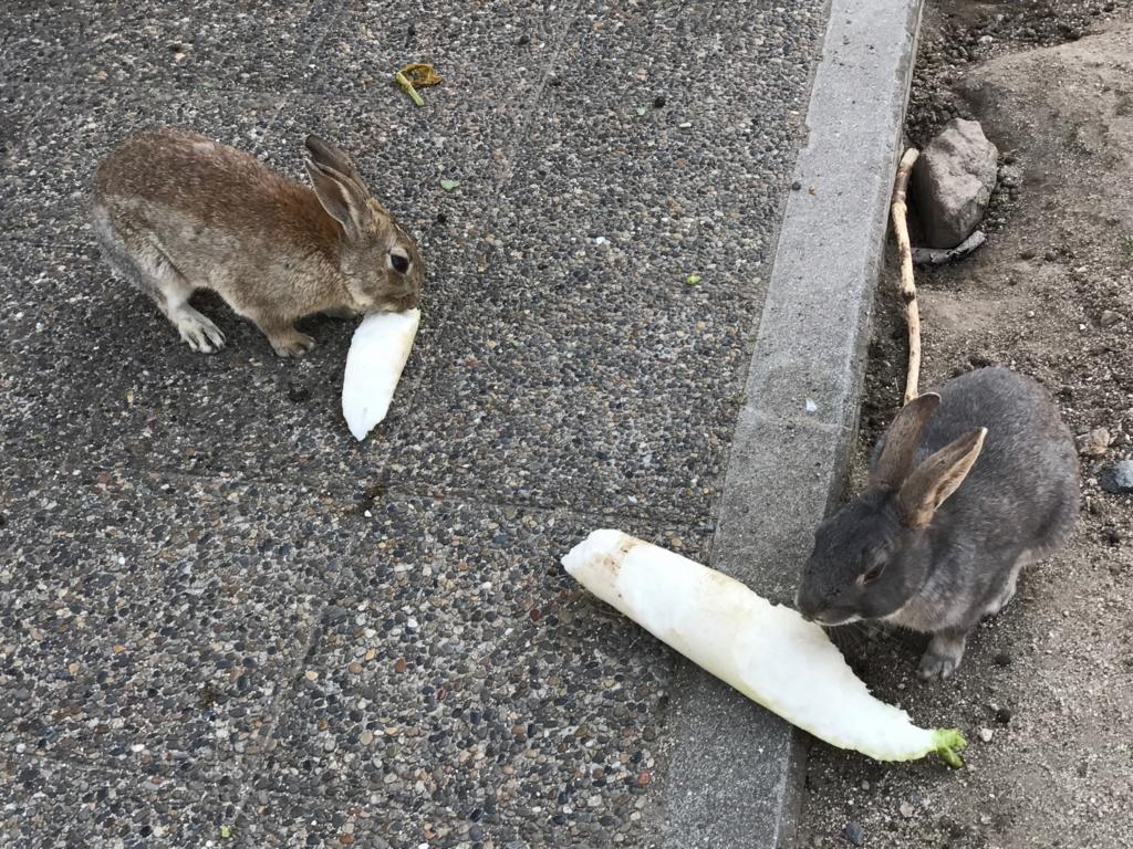 2017年3月 広島県 うさぎ島(大久島) だいこん丸ごと 食事中