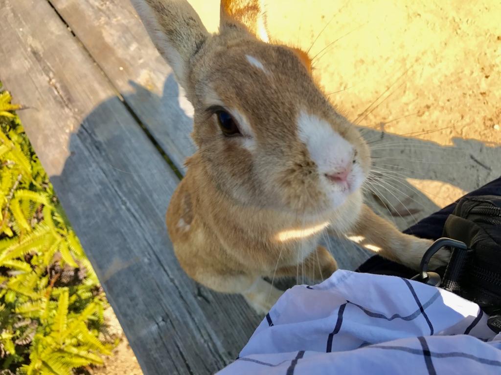 広島県 うさぎ島(大久島)展望台 からの 道 (険しい道)ベンチで休憩中 来てくれたうさぎさん
